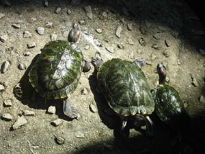 a sköldpadda