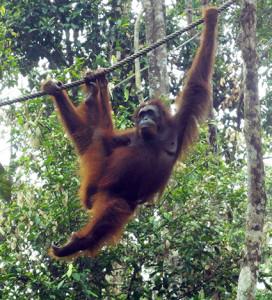 b orangutant front