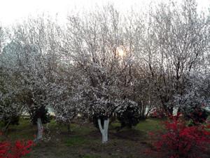 r vita träd